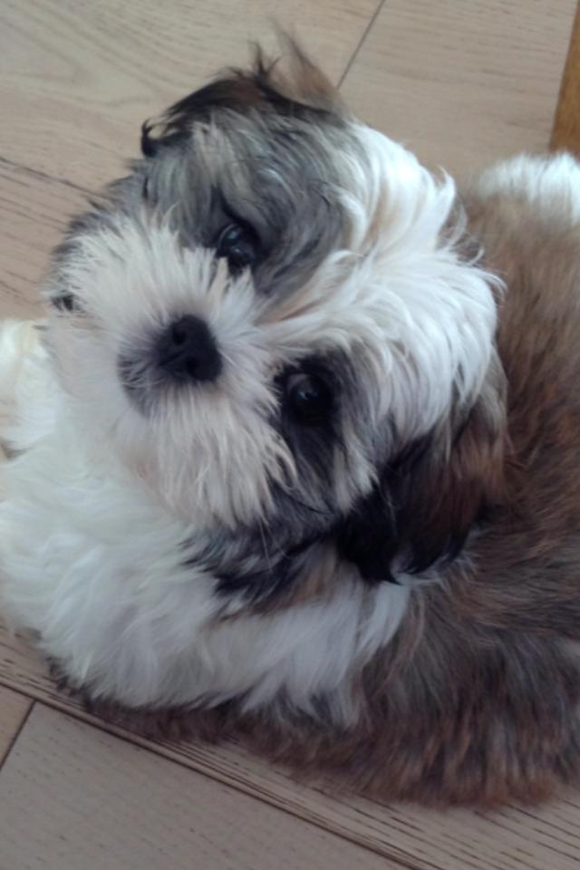 Leo Maltese Terrier X Shih Tzu Castellan House Kennels