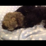 Low shedding, gorgeous  little toy poodle x shihtzu puppies
